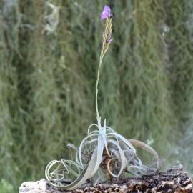 Tillandsia streptocarpa