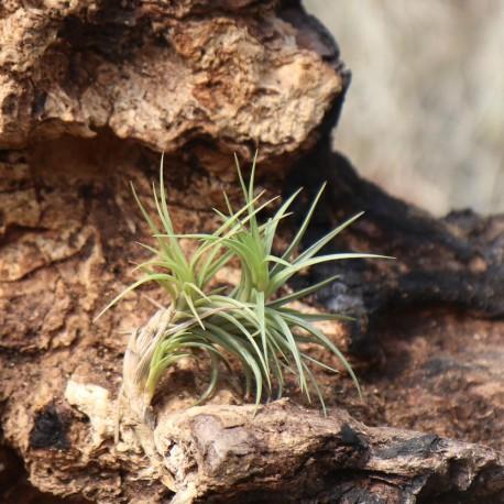 T. tenuifolia