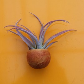 Couroupita calamita con tillandsia capitata var. peach regular