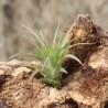 T. braghycaulos multiflora