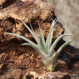 Tillandsia capitata var. grey