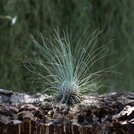 T. argentea