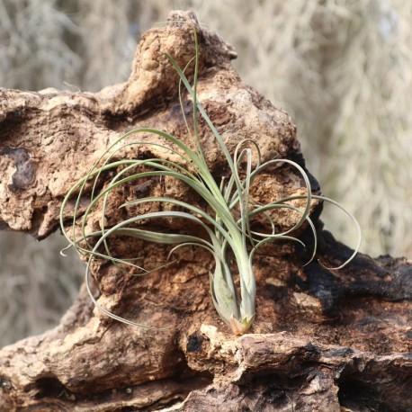 T. balbisiana